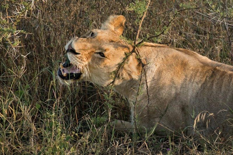 large_Lions_123.jpg