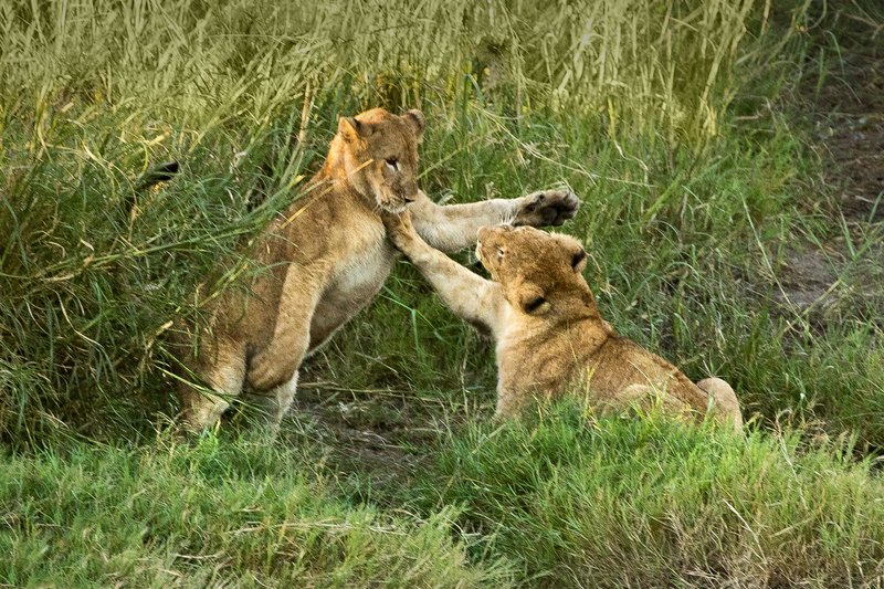 large_Lions_18.jpg