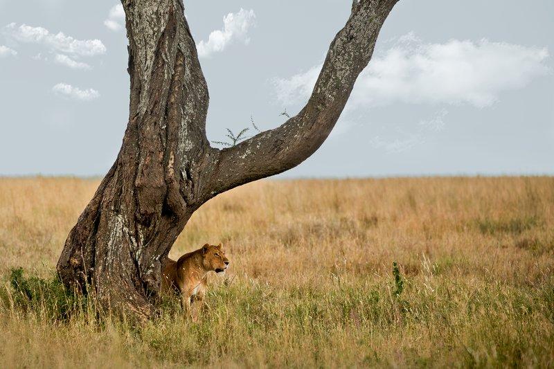 large_Lions_203.jpg