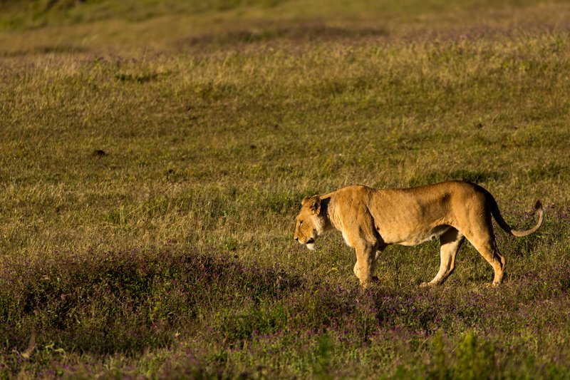 large_Lions_21.jpg