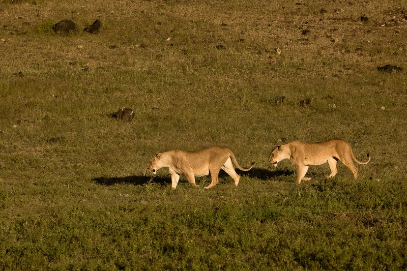 large_Lions_23.jpg