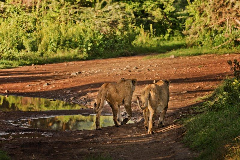 large_Lions_24.jpg