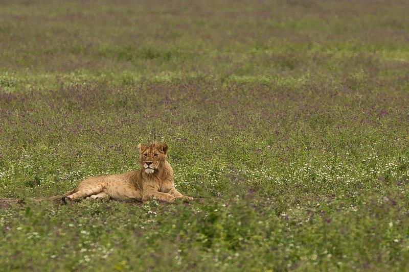 large_Lions_34.jpg