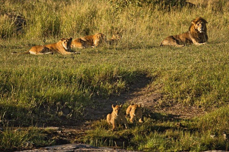 large_Lions_47.jpg