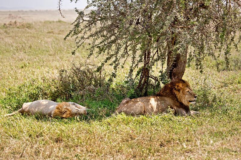 large_Lions_51.jpg