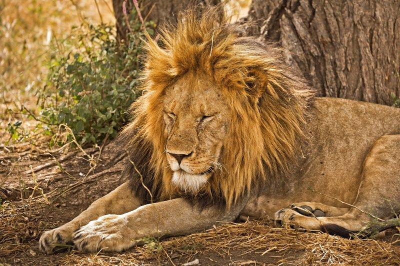 large_Lions_605.jpg
