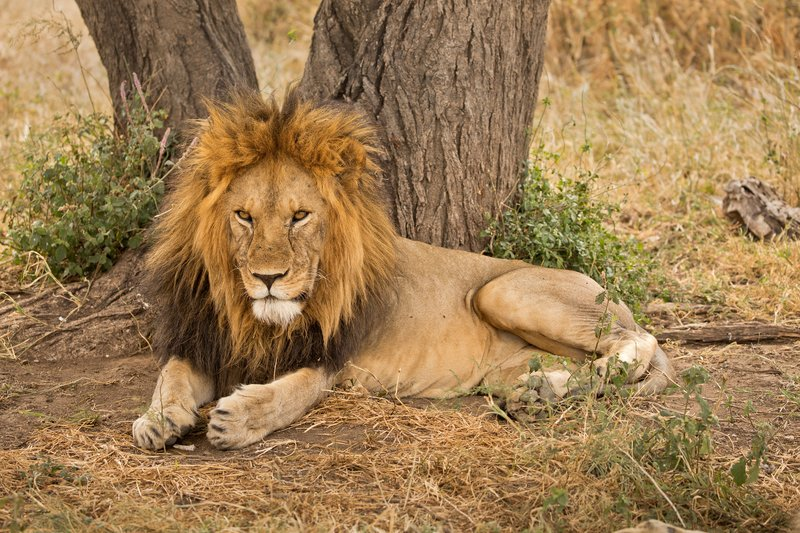 large_Lions_614.jpg