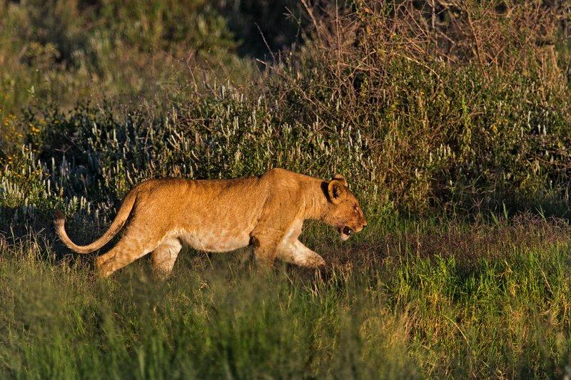 large_Lions_7-14.jpg