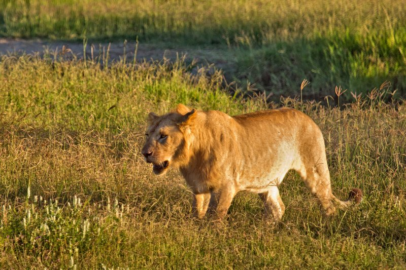 large_Lions_7-2.jpg