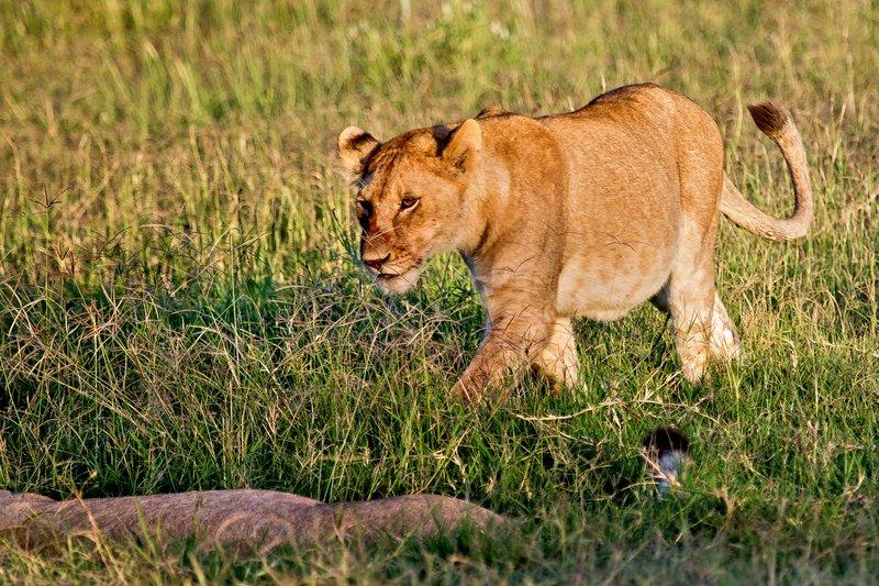 large_Lions_7-25.jpg