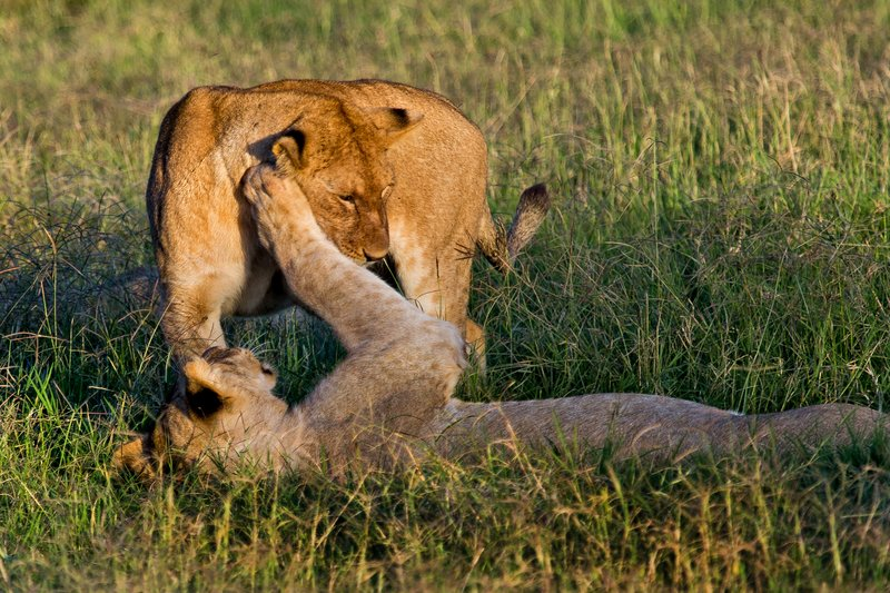 large_Lions_7-27.jpg