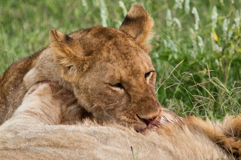 large_Lions_7-31.jpg