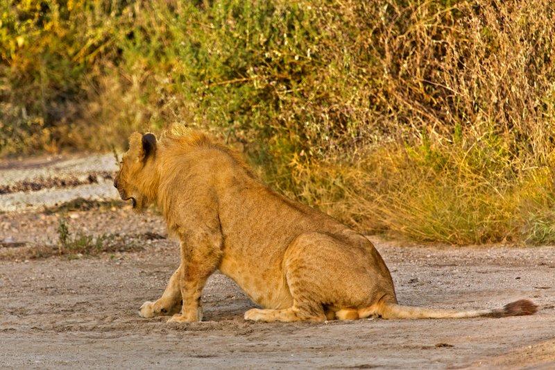 large_Lions_7-6.jpg