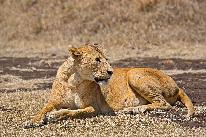 large_Lions_7.jpg