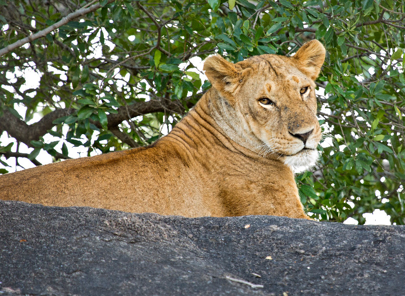 large_Lions_72.jpg