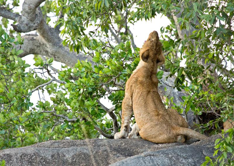 large_Lions_73.jpg