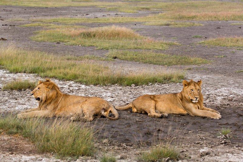 large_Lions_8-21.jpg