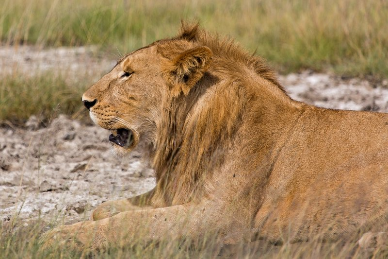 large_Lions_8-23.jpg