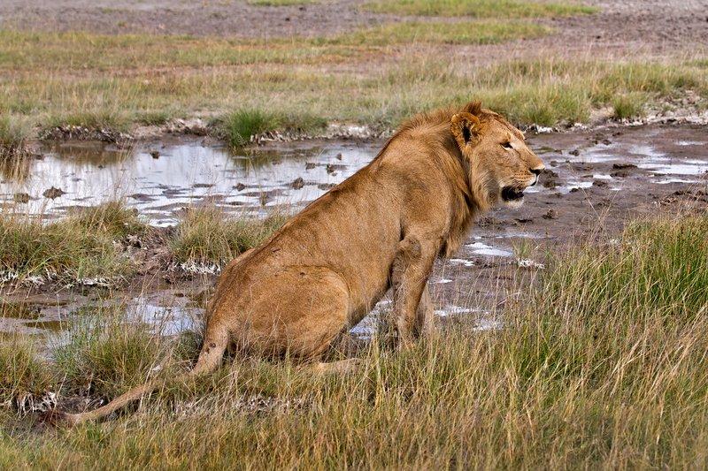 large_Lions_8-41.jpg