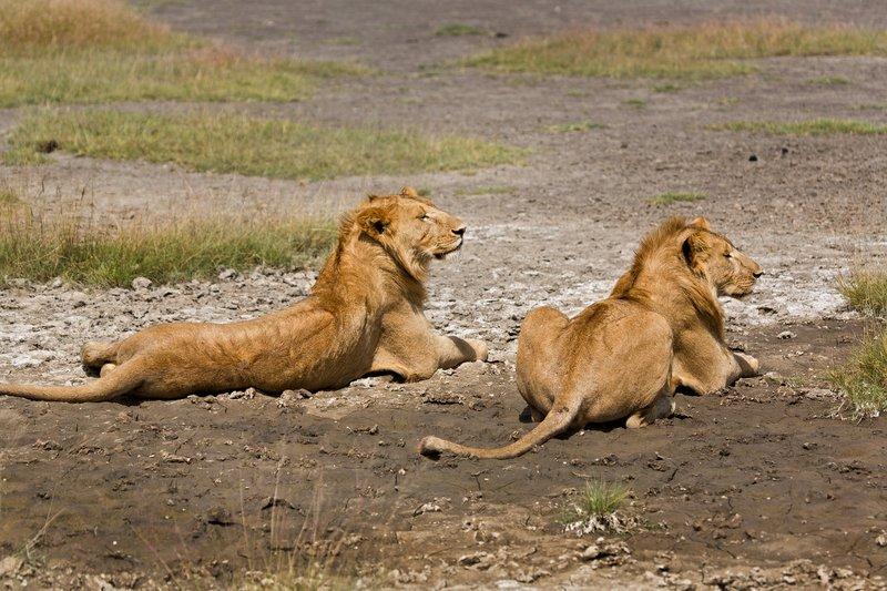 large_Lions_8-43.jpg
