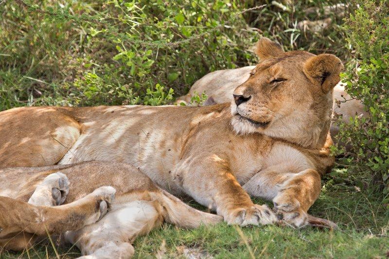 large_Lions_8-47.jpg