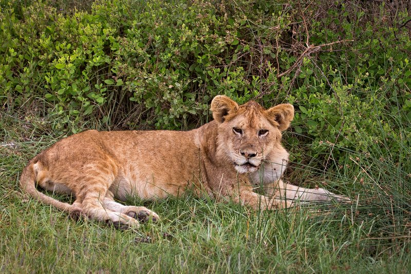large_Lions_8-51.jpg