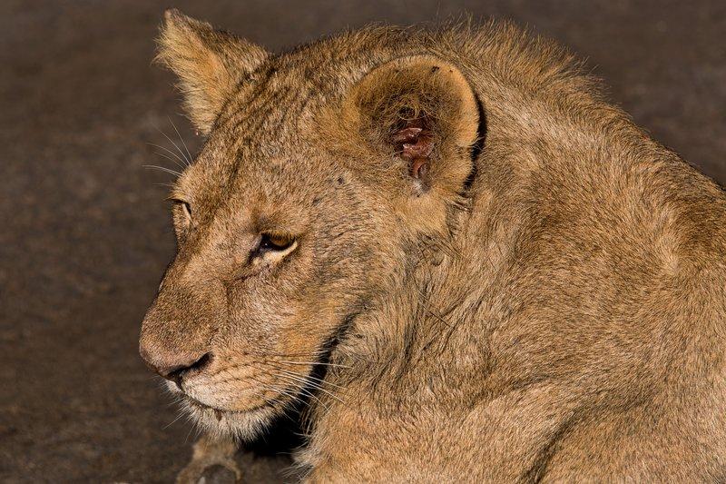 large_Lions_9-16.jpg