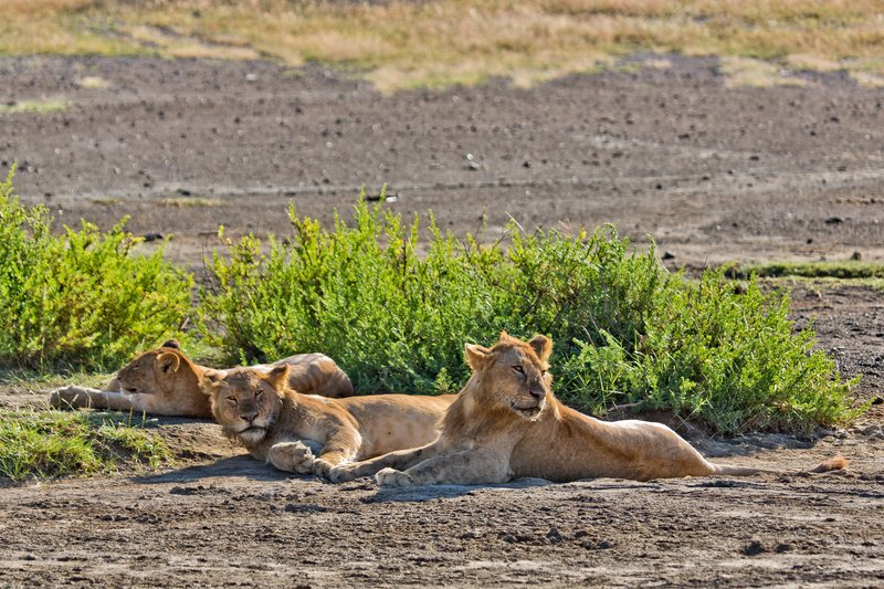 large_Lions_9-2.jpg
