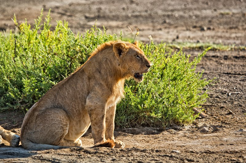large_Lions_9-7.jpg