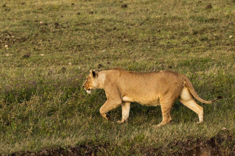 large_Lions_9.jpg