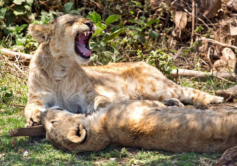 large_Lions_CF_1.jpg