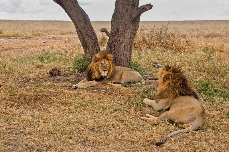 large_Lions_Z_1.jpg