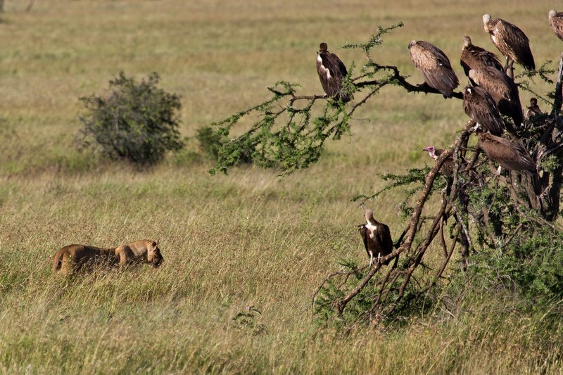 large_Lions_and_..res__10-154.jpg