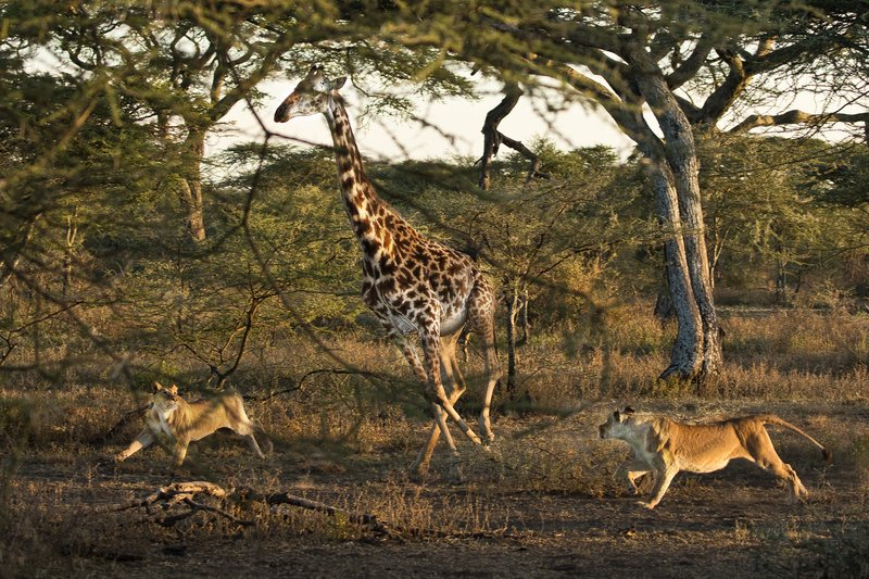 large_Lions_and_Giraffe_10.jpg