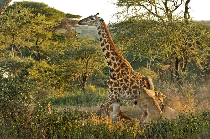 large_Lions_and_Giraffe_24.jpg