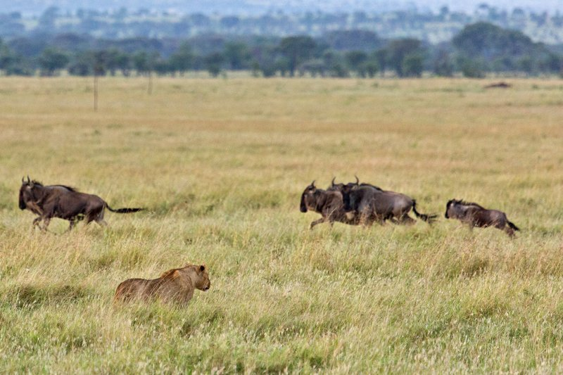 large_Lions_and_Wildebeest_10-3.jpg