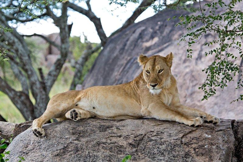 large_Lions_at_Gol_Kopjes_9-15.jpg