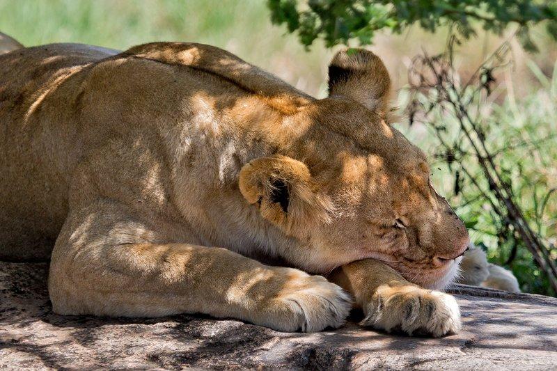 large_Lions_at_Gol_Kopjes_9-19.jpg