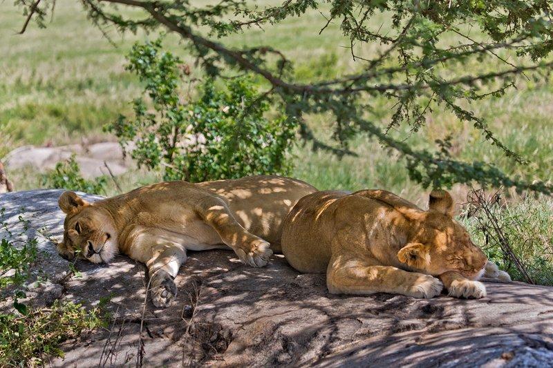 large_Lions_at_Gol_Kopjes_9-22.jpg