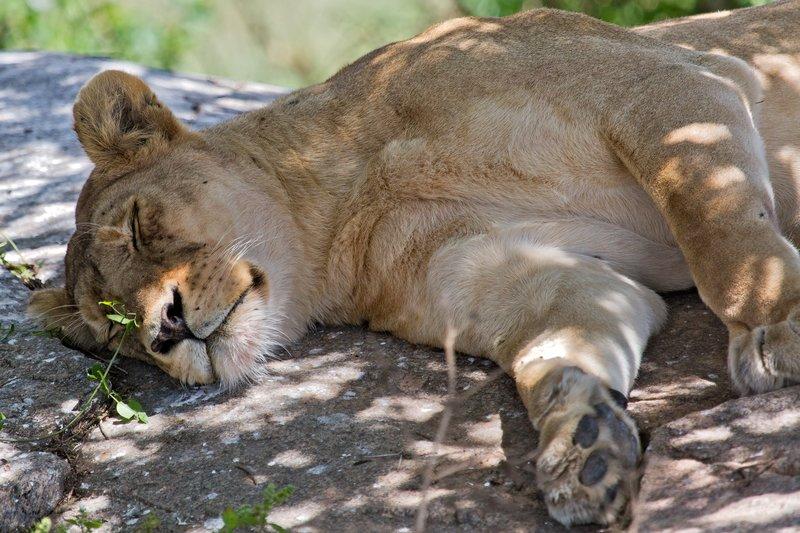 large_Lions_at_Gol_Kopjes_9-23.jpg