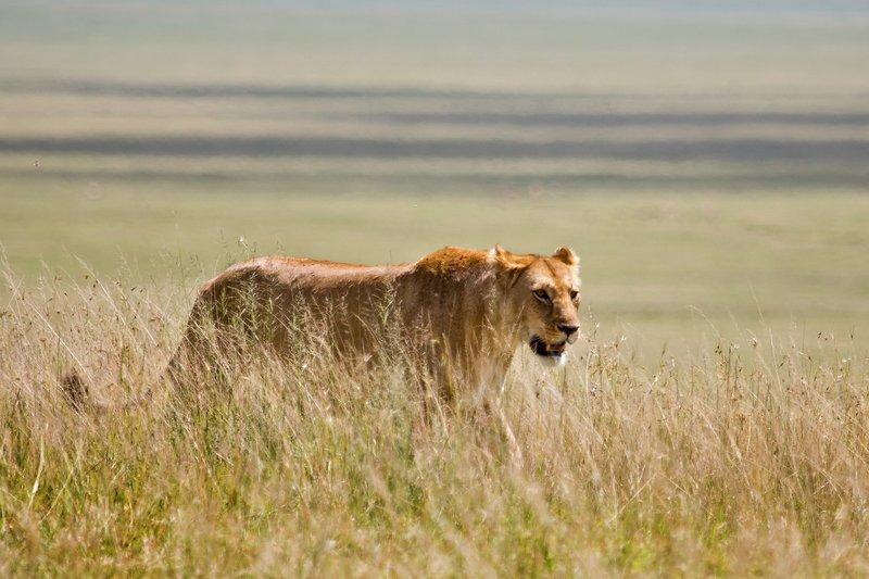 large_Lions_at_Gol_Kopjes_9-5.jpg