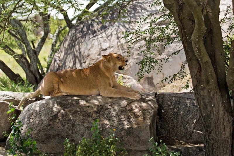 large_Lions_at_Gol_Kopjes_9-6.jpg
