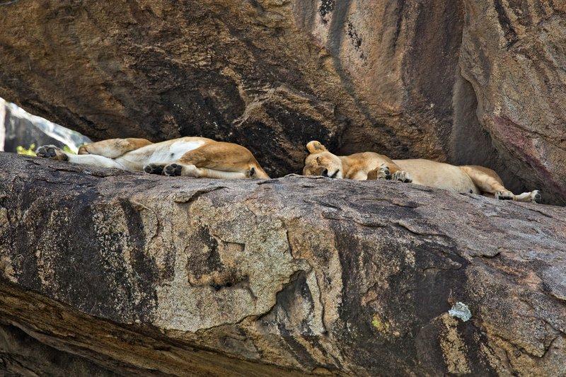 large_Lions_at_M.._Kopjes_9-1.jpg