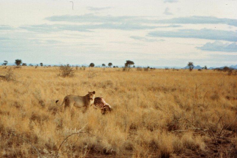 large_Lions_in_M..rk______087.jpg