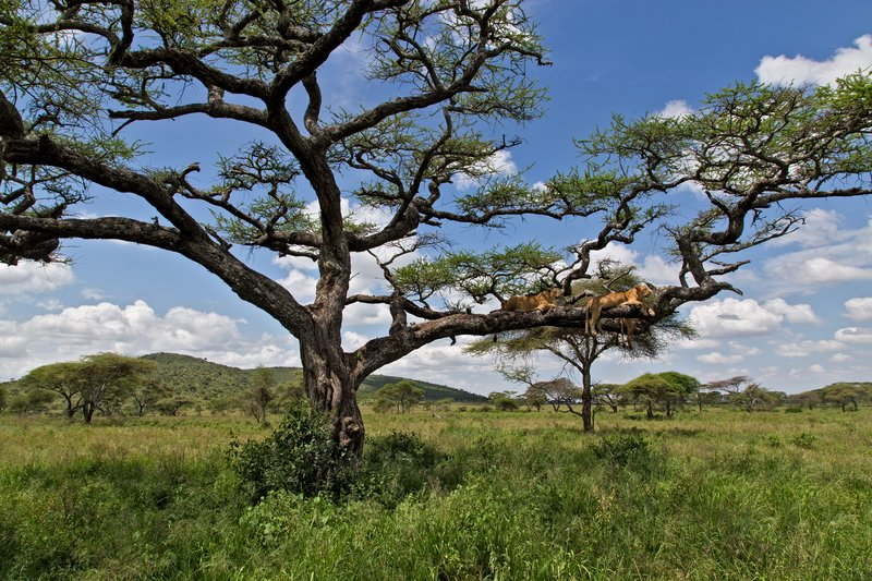 large_Lions_in_a_Tree_11-101.jpg