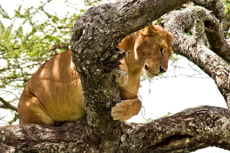 large_Lions_in_a_Tree_11-107.jpg
