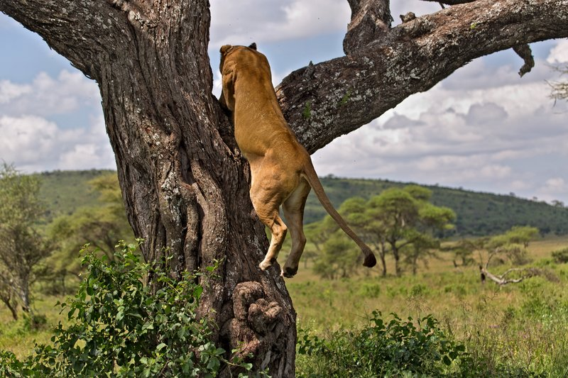 large_Lions_in_a_Tree_11-16.jpg