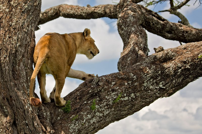 large_Lions_in_a_Tree_11-17.jpg