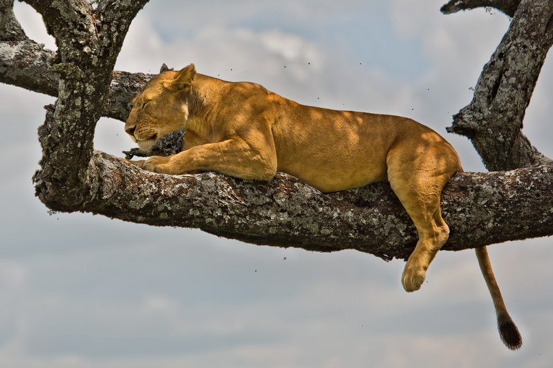 large_Lions_in_a_Tree_11-2.jpg