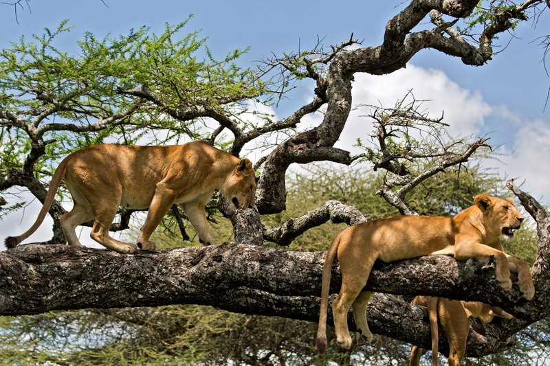 large_Lions_in_a_Tree_11-22.jpg